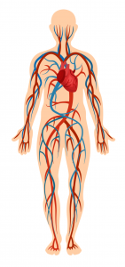 circulatory-system---body-parts---english-for-kids---lingokids